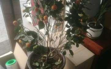 室内盆栽金桔的花盆用多大的合适