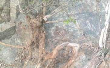 新挖的荆条下山桩老桩 石缝里的 图片