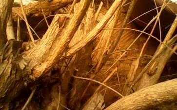 荆条下山桩一般什么季节挖最好 图片
