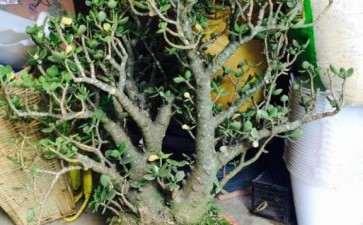 500元买的玉树下山桩老桩 怎么修剪 图片