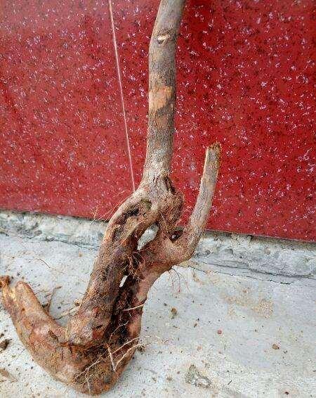 刚回家的1棵梨树下山桩
