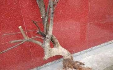刚回家的1棵梨树下山桩 能做盆景吗 图片