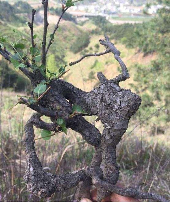 梨树下山桩几月挖好活