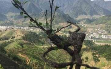 梨树下山桩几月挖好活 3月份挖 图片