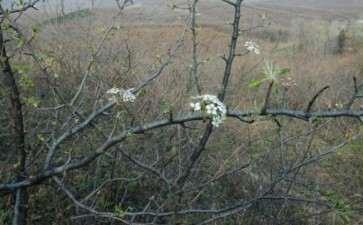今天挖的梨子下山桩 可以做盆景吗 图片