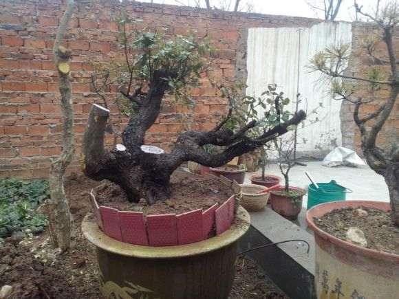 三年铁梨树下山桩
