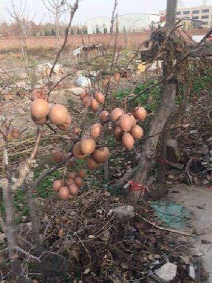 挖回来的野梨树下山桩