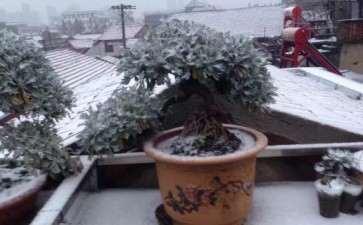 冬天室外雪艾盆景不会被冻死吗 图片