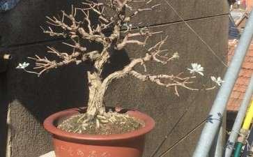 春天要将雪艾盆景叶子全剪掉吗 图片