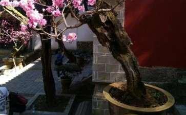 碧桃盆景开花了 可以吗 图片