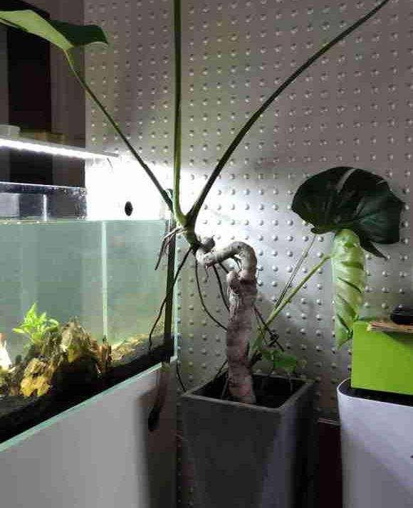 记录龟背竹盆景的成长历程