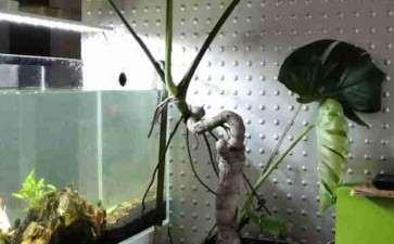 记录龟背竹盆景的成长历程 图片