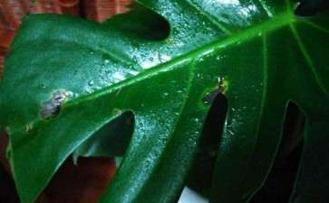 龟背竹盆景黑斑是什么原因 图片