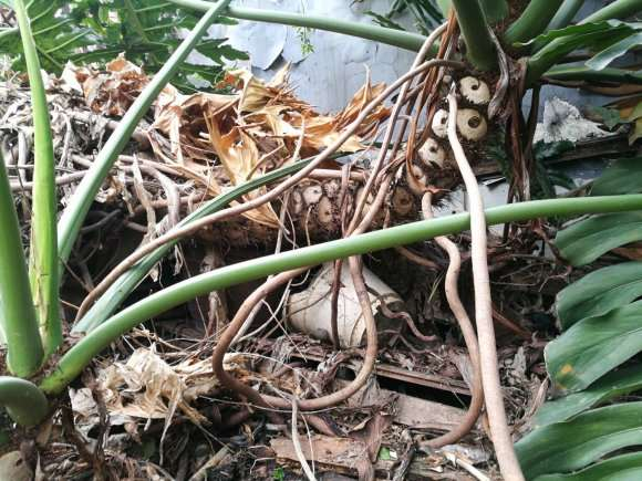 大龟背竹盆景怎么移植的方法