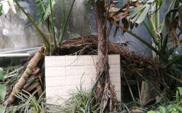 大龟背竹盆景怎么移植的方法 图片