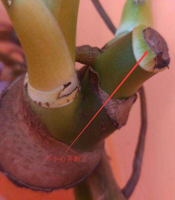 龟背竹盆景粗根怎么水培的方法