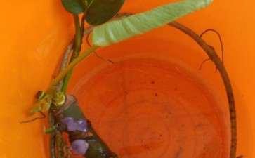 龟背竹盆景粗根怎么水培的方法 图片