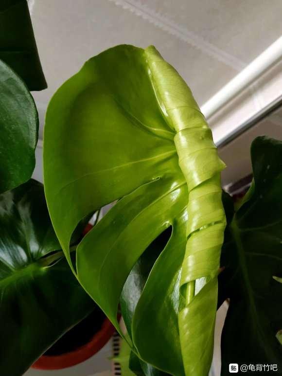 为什么龟背竹盆景的嫩叶就是开背的