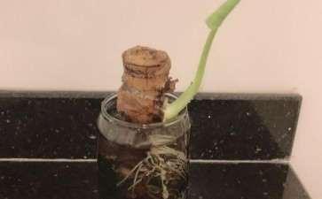 为什么龟背竹盆景太好养了 图片