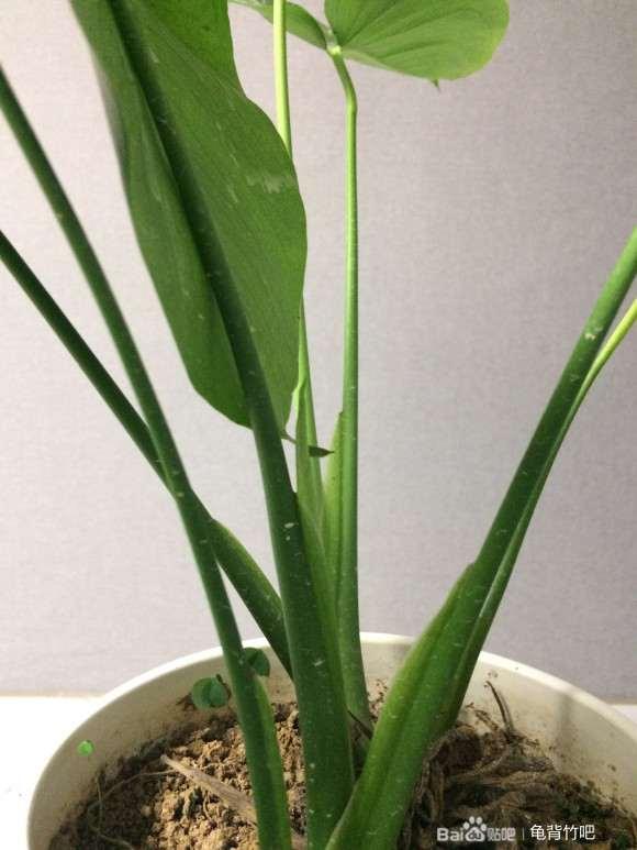 龟背竹盆景新叶开背了