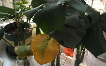龟背竹盆景叶子变黄了 怎么办 图片