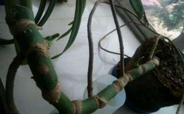 龟背竹砍头多久能恢复生长 图片