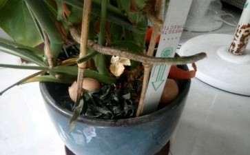 龟背竹根部长了个这个 是气生根吗 图片