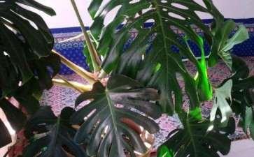 养了3年龟背竹 叶子已经超过50cm了