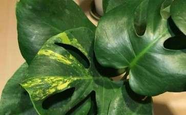 花市买的变异花叶龟背竹  15块1盆 图片