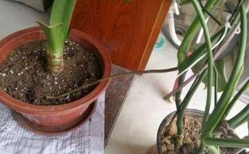 龟背竹这个根也太长了 要剪吗 图片