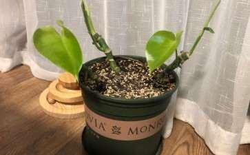 砍头的龟背竹 开始长叶子了 怎么办