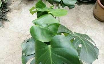 为什么龟背竹只适合室外养 图片