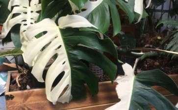 为什么白锦龟背竹这么贵 图片