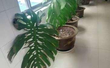 龟背竹的大叶品种有多大 图片