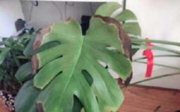龟背竹的叶子都变成边缘焦了 怎么办