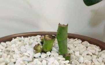 龟背竹叶子全剪了 能长新芽吗 图片