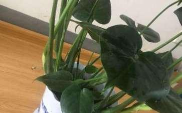 龟背竹的小叶子是需要剪掉吗 图片