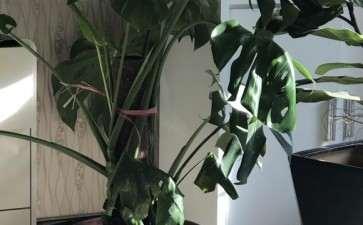 为什么龟背竹叶子不展开 怎么办 图片