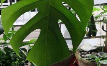 叶子裂了 这是滴水观音 还是龟背竹