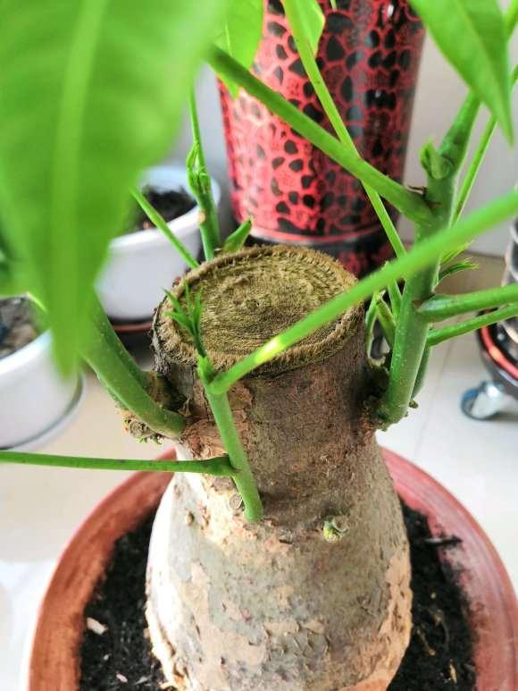 新入手的发财树下山桩冒芽了