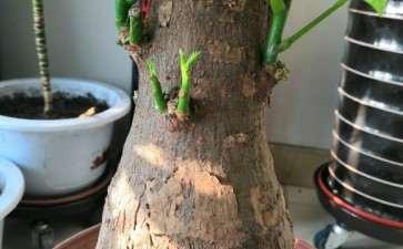 新入手的发财树下山桩冒芽了 可以吗