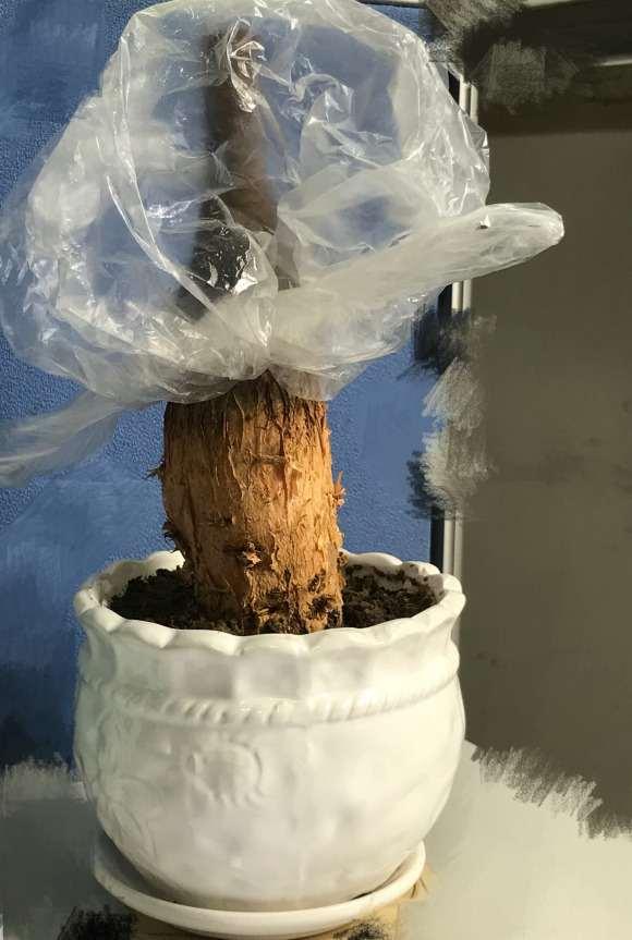 网购的光杆发财树下山桩 怎么快发芽