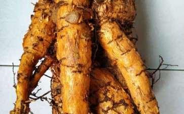 大提根发财树下山桩怎么上盆的方法