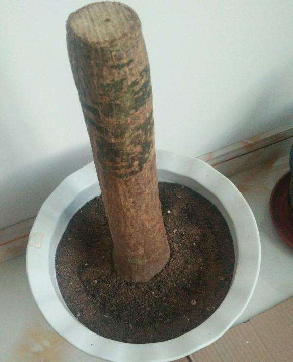 发财树下山桩怎么成长的记录贴
