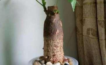 水培的发财树下山桩 终于长水根了 图片