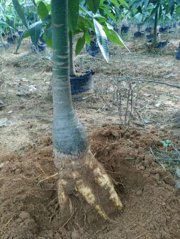 发财树下山桩提根是什么意思