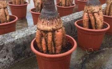 发财树下山桩的这种根是怎么培养的
