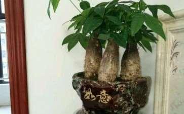 这是真的发财树吗 有人说是嫁接的 图片