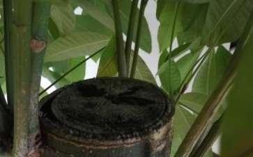 独杆发财树干顶部截面怎么处理