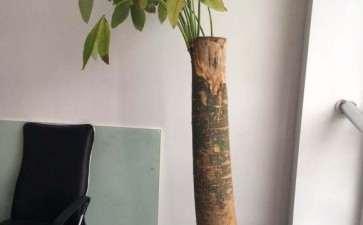 去年8月买的发财树 死成这样了 图片